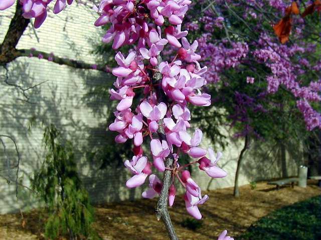 Cercis Canadensis Ganim S Garden Center