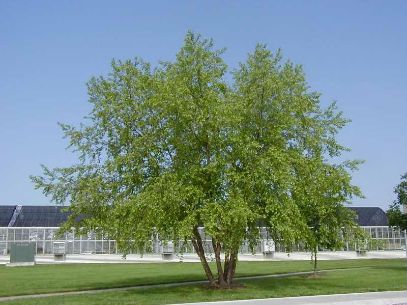 Betula nigra mature height spread