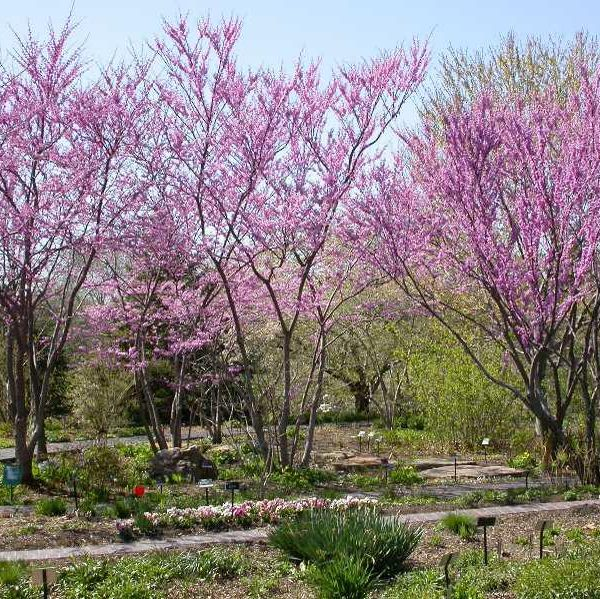 cercis candensis 1
