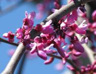 trees_orn_cherry