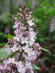trees_orn_lilac
