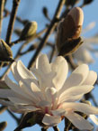 trees_orn_magnolia_stellata